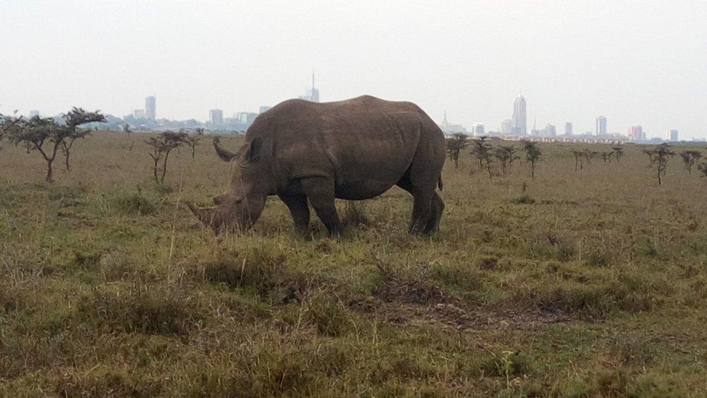Enseñas un animal salvaje con la ciudad de Nairobi al fondo