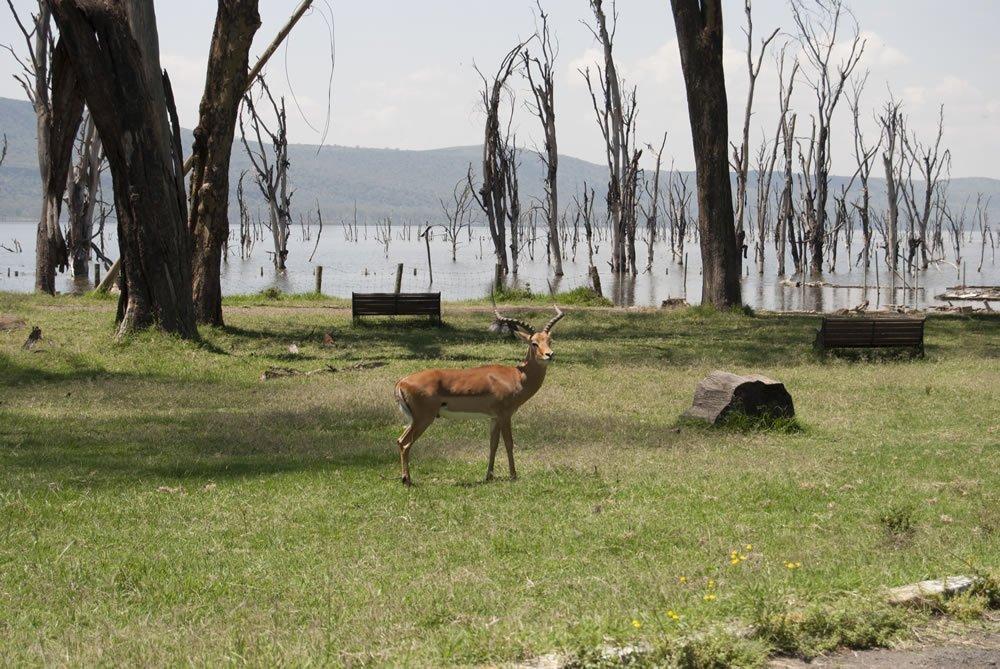 Impala en el parque Natural de Nakuru