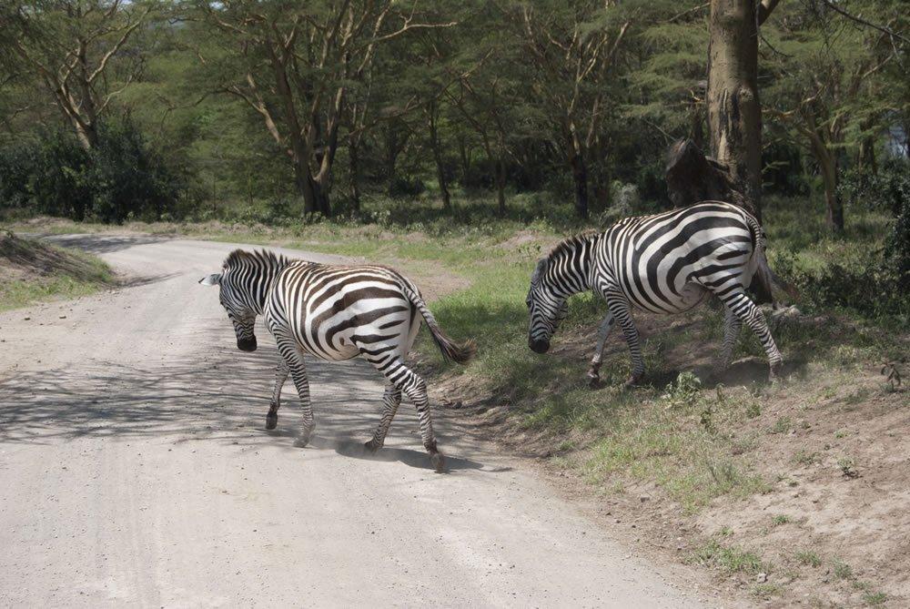 Cebras en el Parque Natural de Nakuru