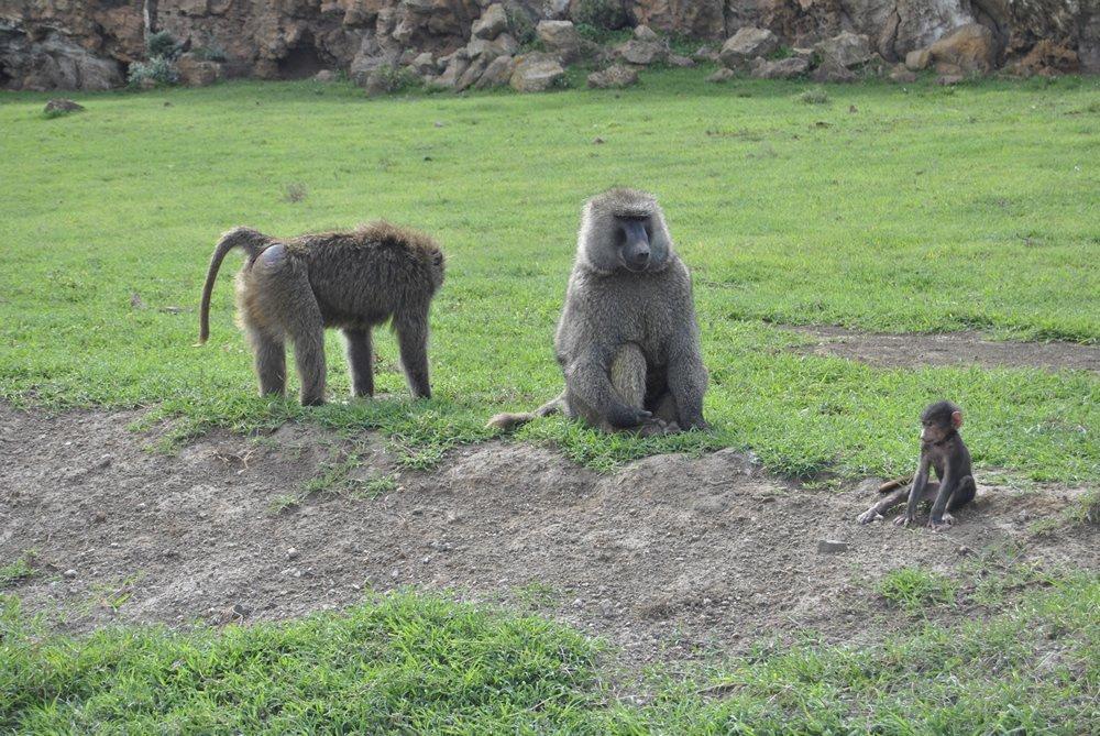 Familia de Baboons en Hells Gate