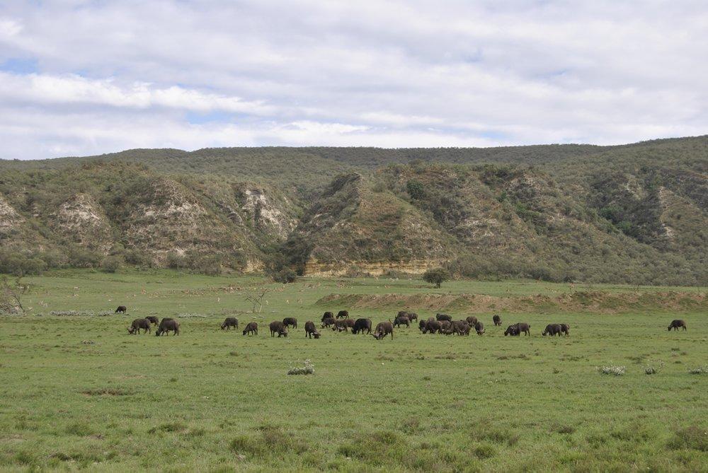 Manada de búfalos a lo lejos
