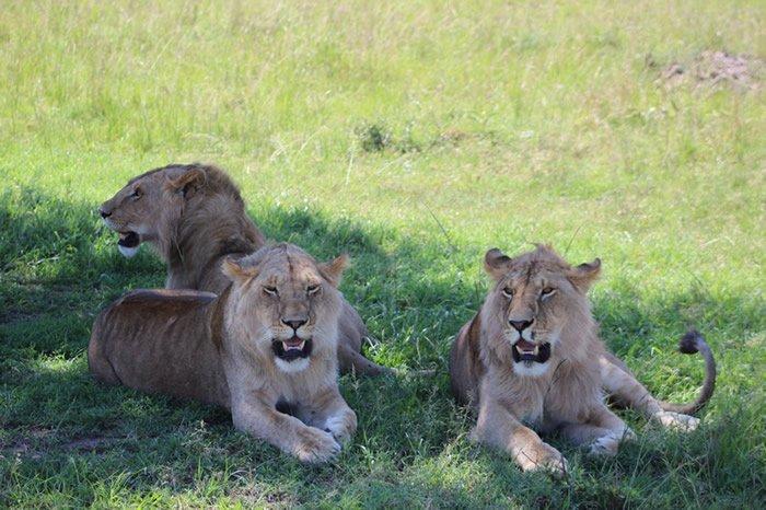 Grupo de leonas a la sombra en la Reserva Nacional del Masai Mara