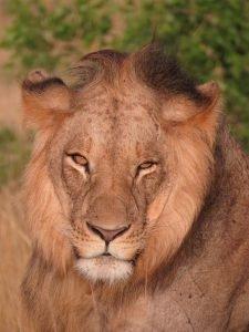 León en Kenia en el Masai Mara