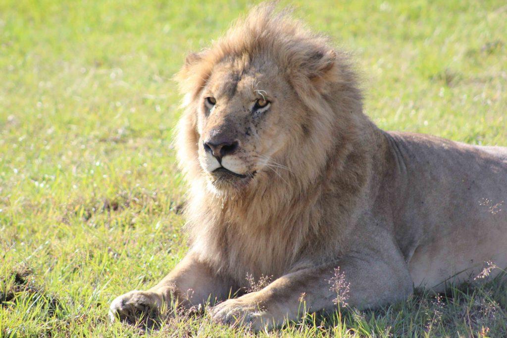 León en la reserva Natural del Masai MAra