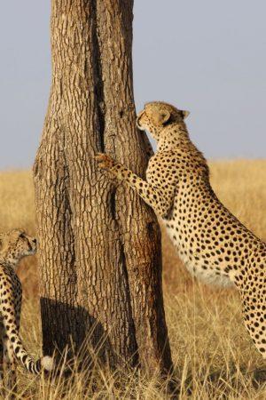 Guepardos en Kenia