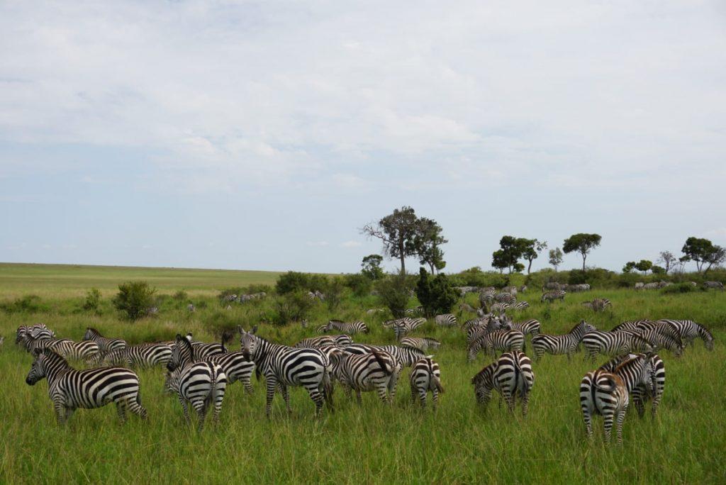 cebras en la reserva nacional del masai mara