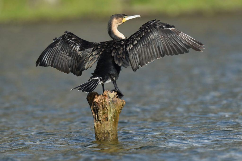 aves en el lago Naivasha