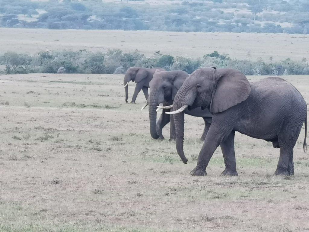 elefantes libres en la reserva nacional del masai mara
