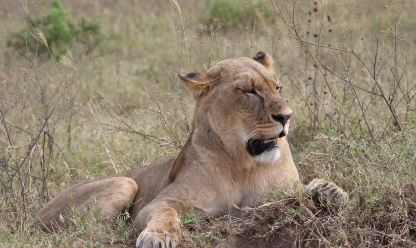 leona en el masai mara